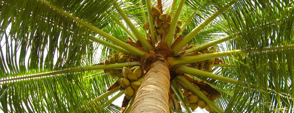 Image result for தென்னைமரம்